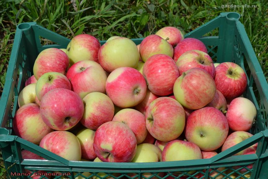 багаевский мальт яблоня описание фото