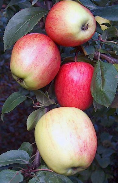 Обделена заслуженной популярностью морозостойкая яблоня Аркадик 66