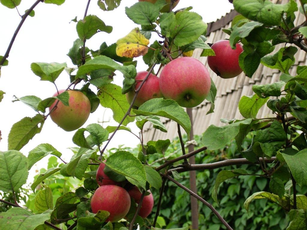 распространенных приемов яблоня краса свердловска описание фото отзывы смогу застегивать